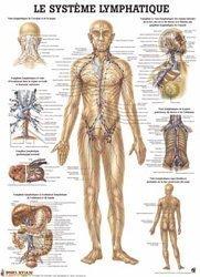 Planche du système lymphatique