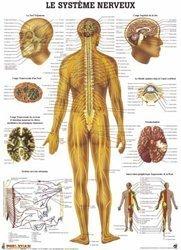 Planche du système nerveux