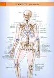 Le squelette.Vue ventrale